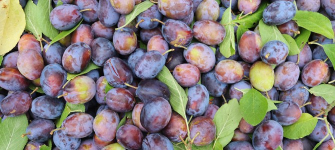 Fruits of the Forage – preserves and preservation