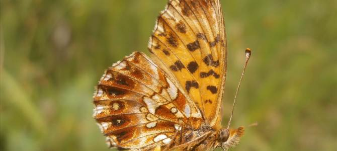 Conventional, industrialized agriculture causes severe decline in butterfly numbers