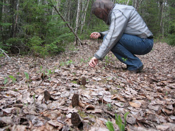 A man picking morel mushrooms at Loch Island Ontario
