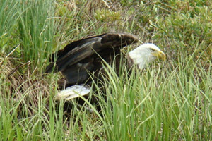 Wildlife at Lake - Bald Eagle