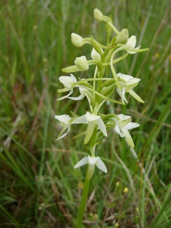 Lesser-butterfly Orchid