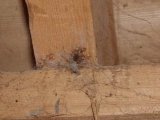 Black Lace-weaver in its web