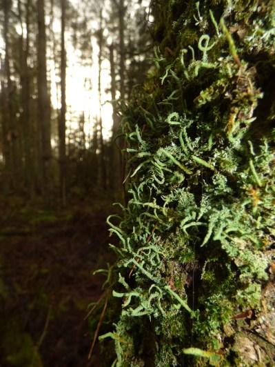 Cladonia species