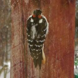 Top view male Hairy Woodpecker
