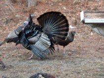 turkey-parading