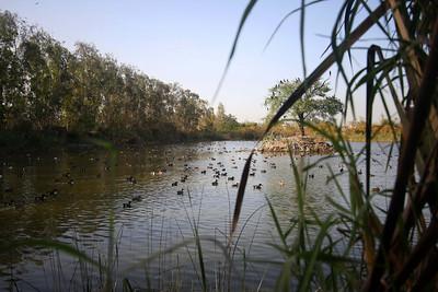 Ducks and other bird species