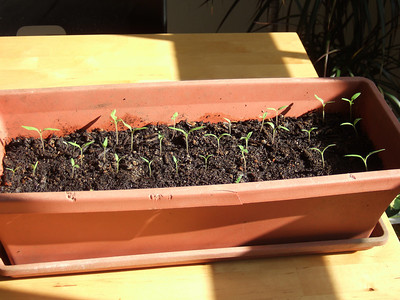 Tomato seedlings, summer 2009