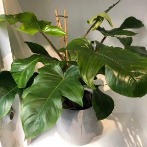 philo squamiferum oeil vegetal lyon