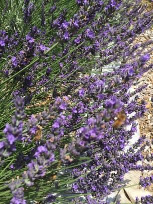 lavender in field