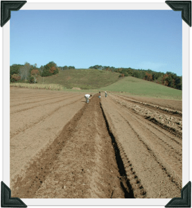 planting garlic in soil