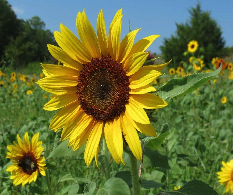 single sunflower copy