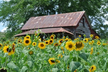 sunflowers & old house