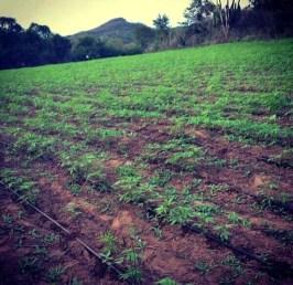 Marijuana harvest using RO-DRIP, cartel's favorite irrigation tape
