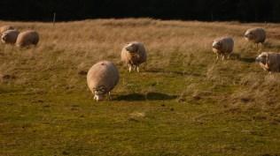 Amelander schapen