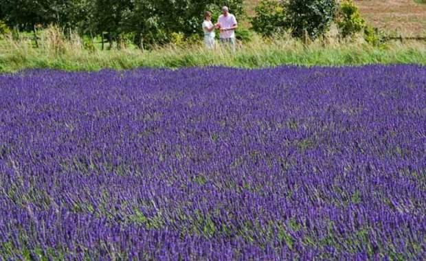 Lavender Cotswolds