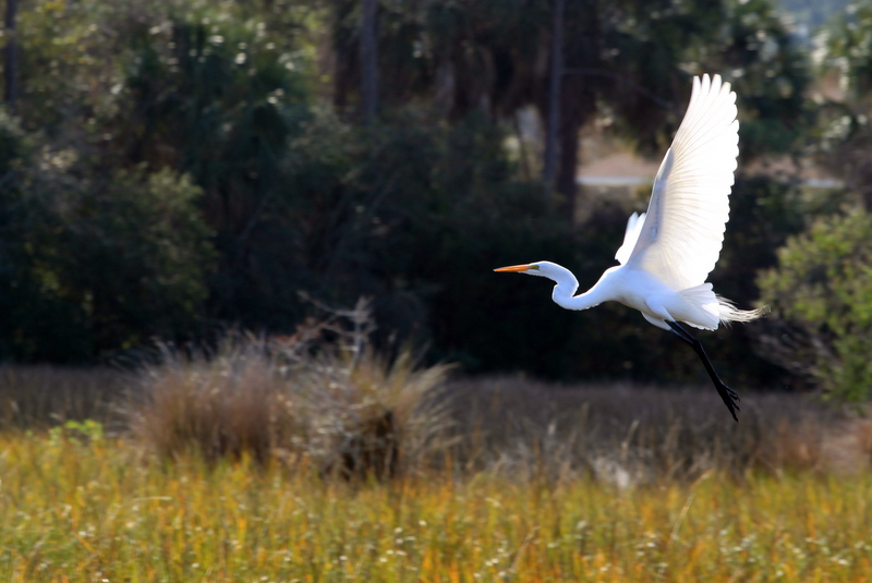 Egret's take-off
