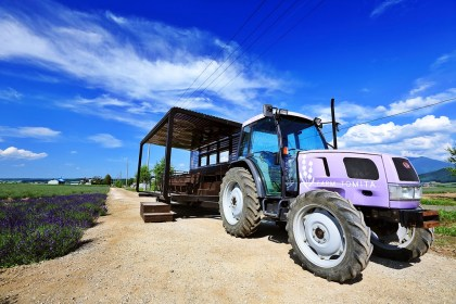 purple romance at Farm Tomita