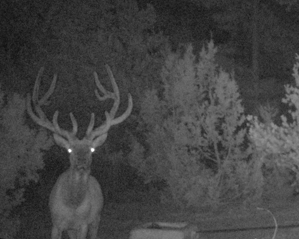 Elk In Night