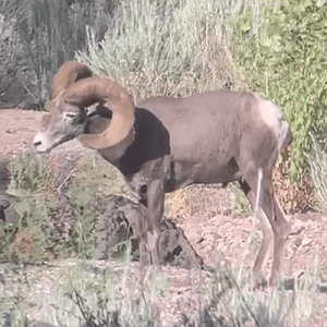 LOH Outfitters Bighorn Sheep profile