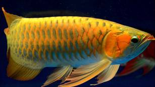 Maintaining-Arowana-fish-in-aquarium