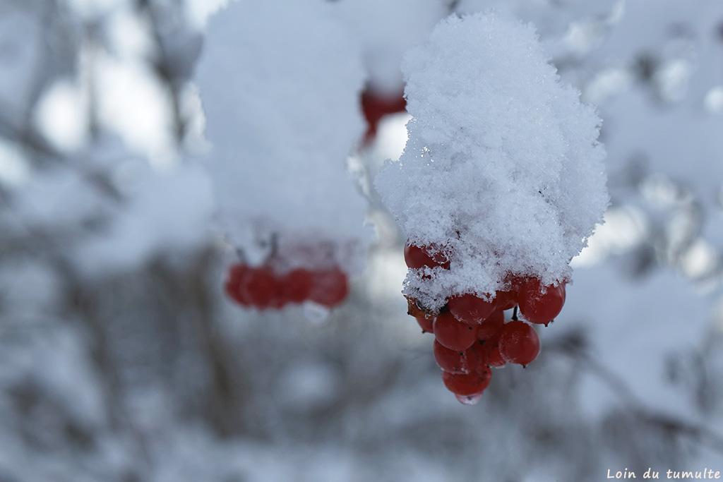 petites baies rouges sous la neige