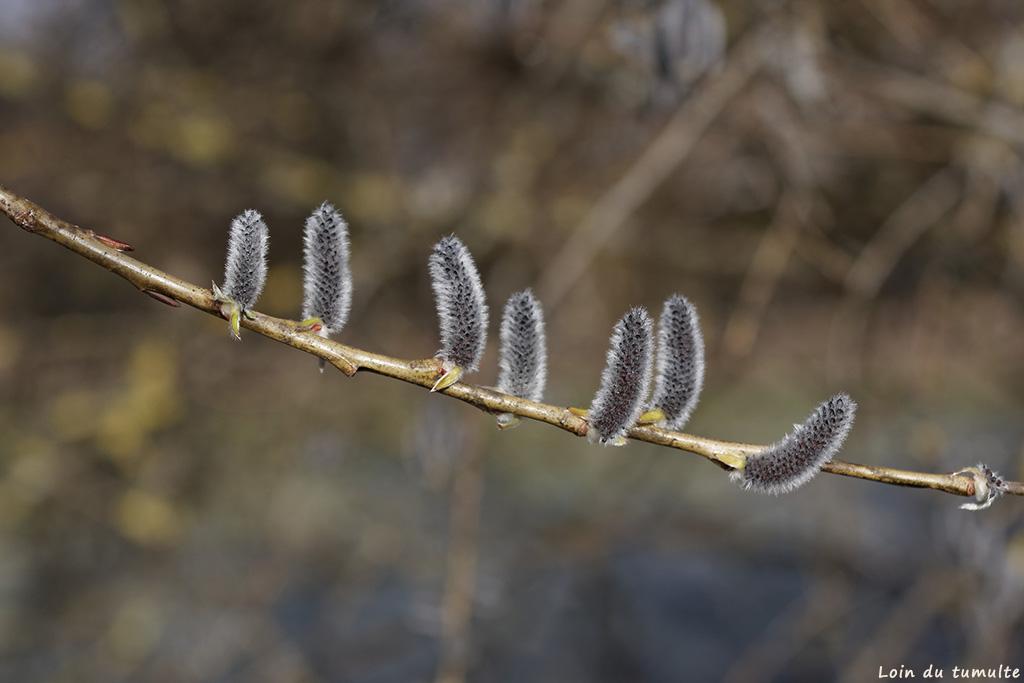 bourgeons d'un saule marsault en vallée du giffre
