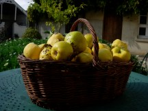 Fall Bounty of Quince