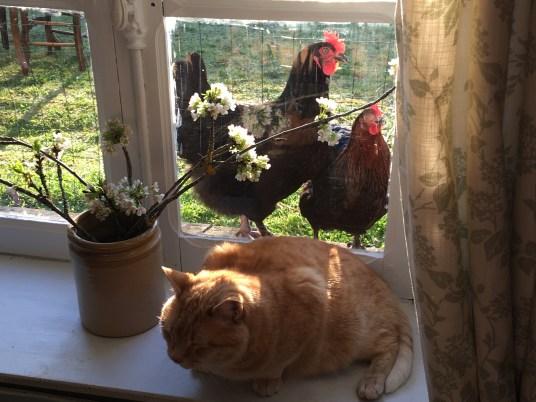 hens looking thru the window