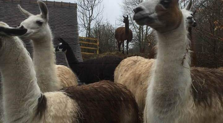 It's all about the Llamas