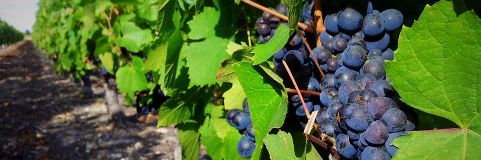 Comment participer aux vendanges 2015
