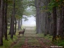 cerf en forêt de Sologne