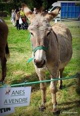 fête des ânes Poulaines Indre avec LoireXplorer âne du Cotentin