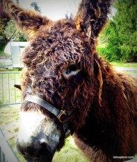 fêtes des ânes Poulaines Indre Berry avec LoireXplorer Baudet du Poitou