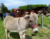 Fêtes des ânes Poulaines Indre Berry avec LoireXplorer âne de Provence