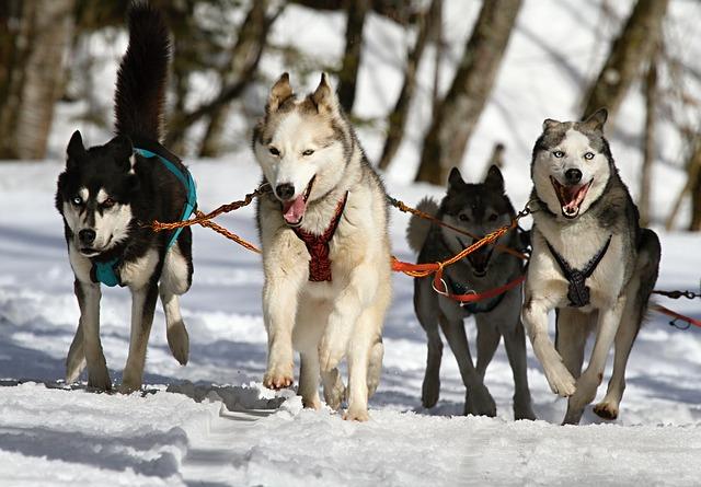 chien husky randonnée