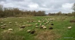 transhumance-moutons-sologne-paturage