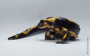 Où trouver des salamandres tachetées
