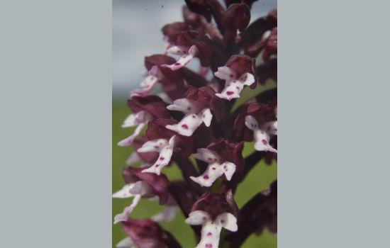 orchidée sauvage en Val de Loire et région Centre