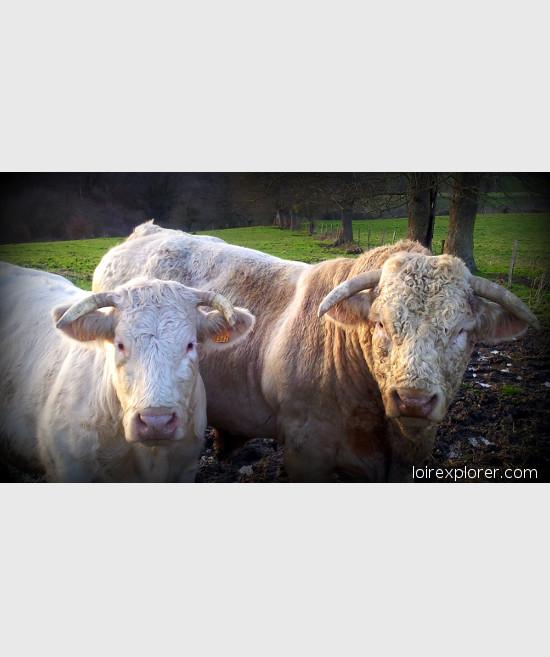 vache voyage au centre de la France