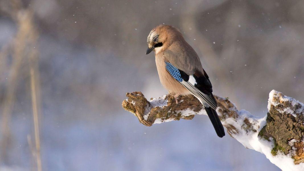 Commentaider les oiseaux à passer l'hiver