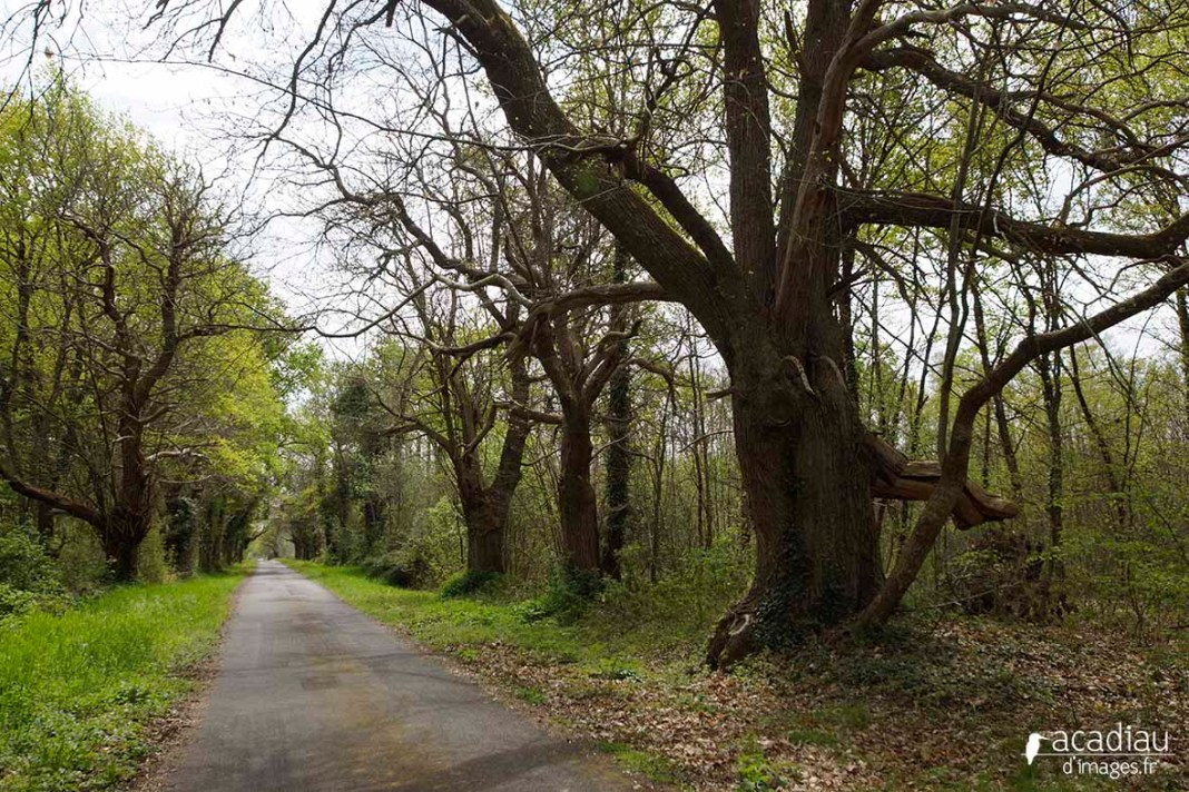 La trogne, cet arbre tétard mystérieux, où le découvrir