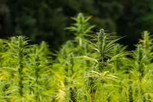 hemp, crop, agriculture