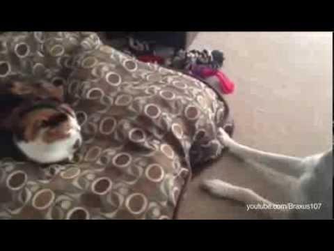 Compilação de gatos a apoderar-se da cama dos cães