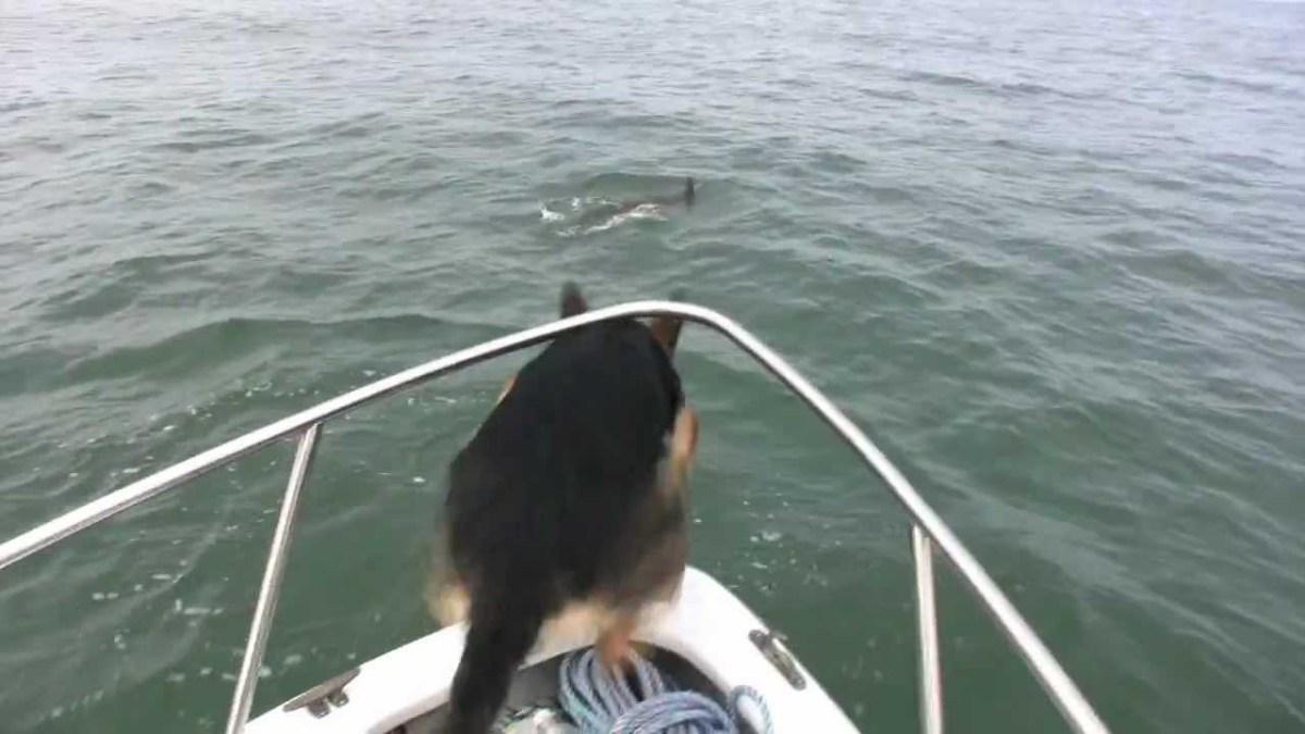 Pastor alemão decide saltar do barco e brincar com golfinhos
