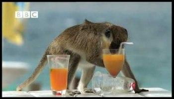 Macacos Bêbados