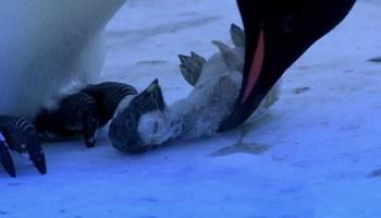 Vídeo comovente mostra mãe pinguim a chorar ao encontrar o corpo congelado de seu filhote morto Leia mais em: http://www.techmestre.com/video-comovente-mostra mãe pinguim chorando ao encontrar o corpo congelado do seu filhote morto