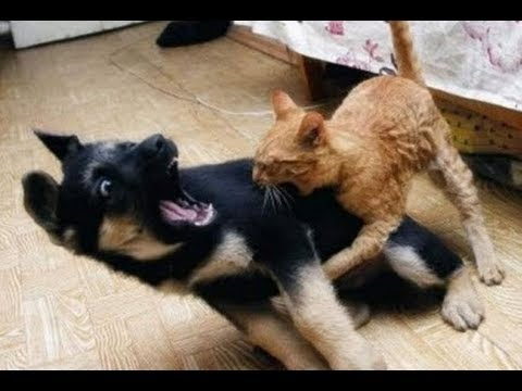 Achas que os gatos têm medo dos cães?
