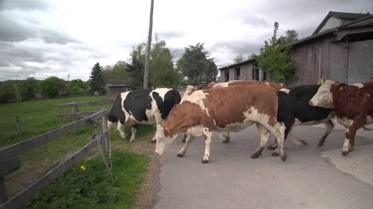 Vacas saltam de alegria ao serem libertadas