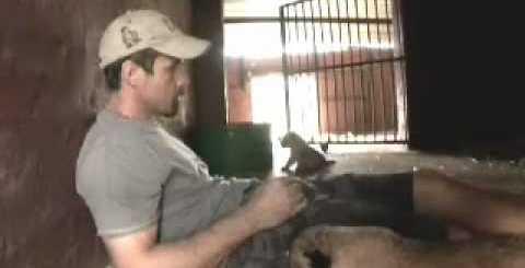 Leoa permite que humano brinque com as suas crias