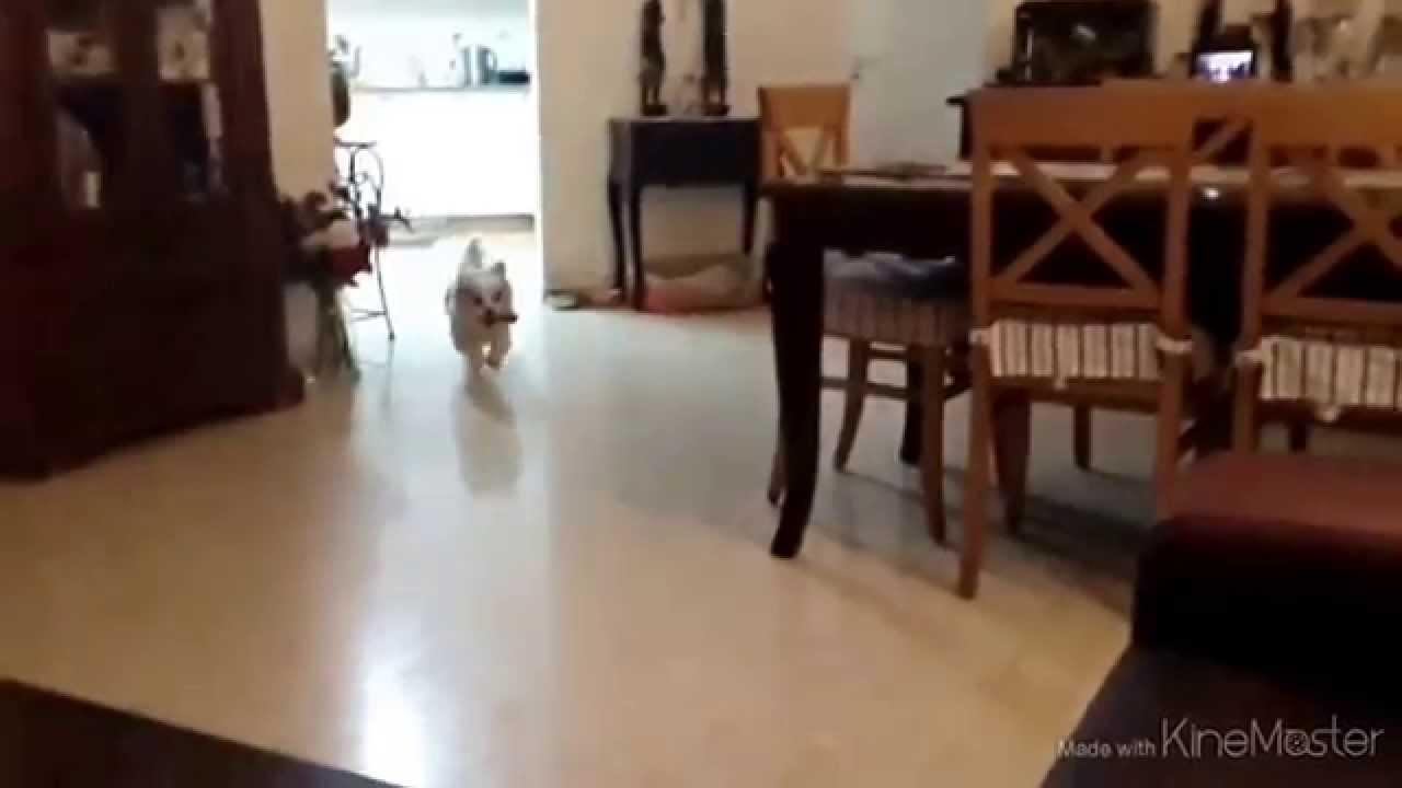 cão voador